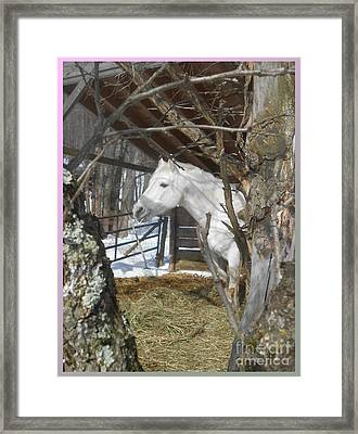The Paso Fino Stallion At Home Framed Print by Patricia Keller