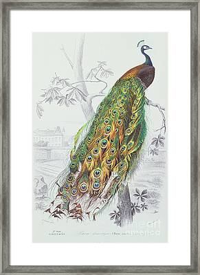 The Peacock Framed Print