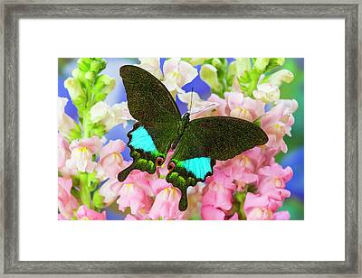 The Peacock Swallowtail Butterfly Framed Print by Darrell Gulin