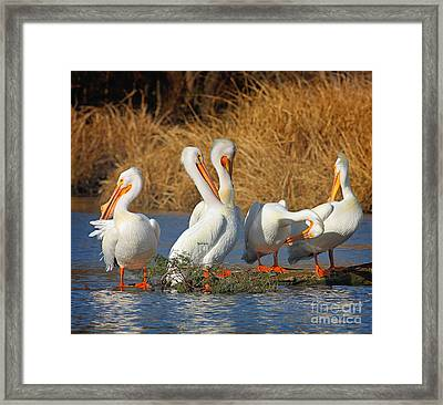 The Pelican Gang Framed Print
