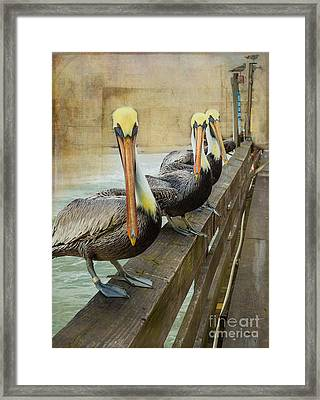 The Pelican Gang Framed Print by Steven Reed