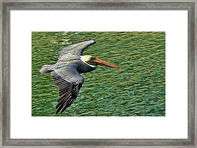 The Pelican Glide Framed Print by Pamela Blizzard