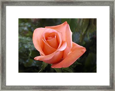 The Perfect Coral Rose Framed Print