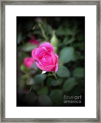 The Perfect Pink Rose 1 Framed Print by Becky Lupe