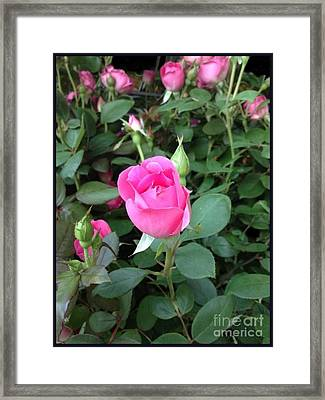 The Perfect Pink Rose 2 Framed Print by Becky Lupe