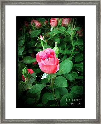 The Perfect Pink Rose Framed Print by Becky Lupe
