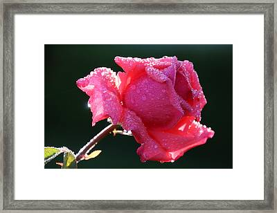 The Perfect Rose Framed Print by Michael Williams