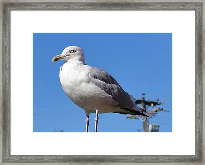 The Perfect Sea Gull  Framed Print