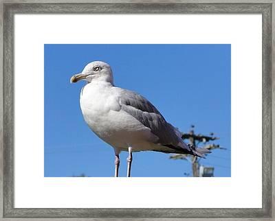 The Perfect Sea Gull  Framed Print