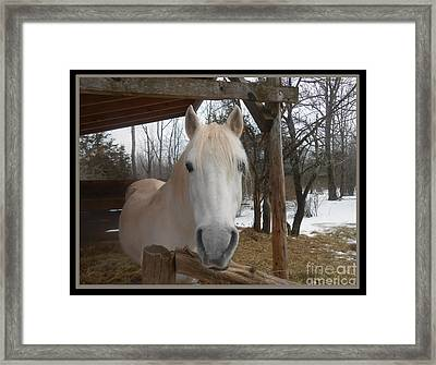The Picture Perfect Paso Fino Stallion Framed Print by Patricia Keller
