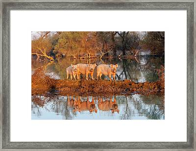 The Pigs Of Maliuc, Domestic Animals Framed Print by Martin Zwick