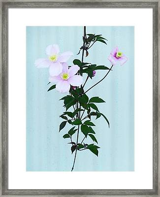 The Pink Clematis Framed Print
