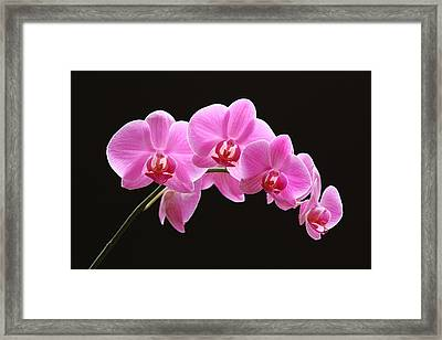The Pink Orchid Framed Print