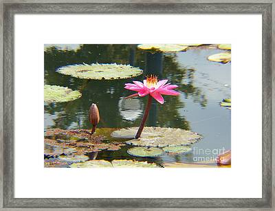 The Pink Water Lily With Lily Pads - One Framed Print