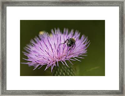 The Pollinator - Bee On Thistle  Framed Print by Jane Eleanor Nicholas