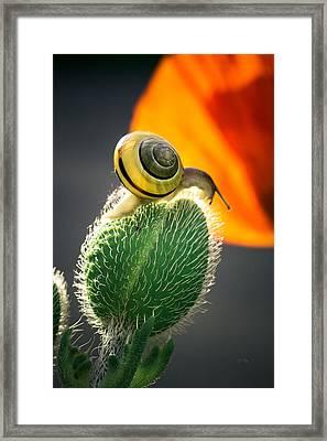 The Poppy And The Snail Framed Print by Eti Reid