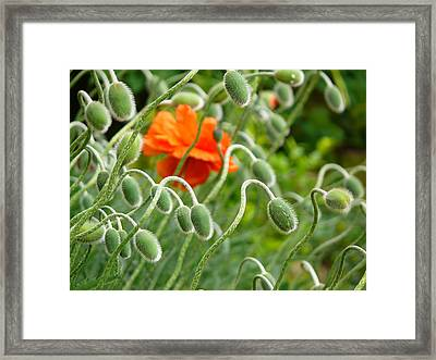 Framed Print featuring the photograph The Poppy by Evelyn Tambour