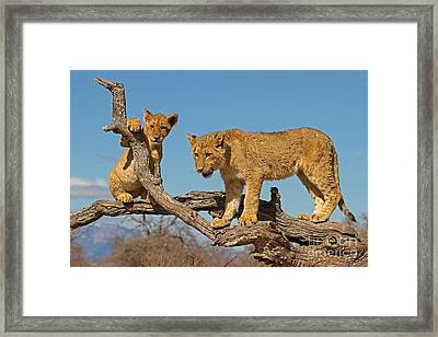 The Predatory Instinct Framed Print by Ashley Vincent
