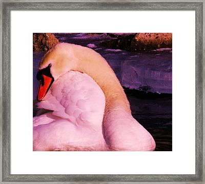 The Preening Swan Framed Print by Jeff Swan