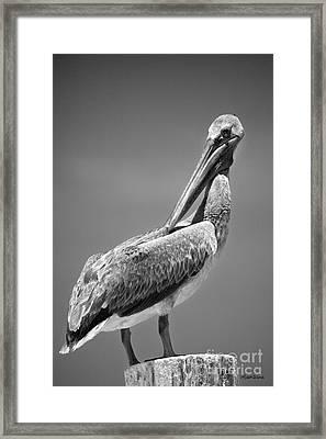 The Proper Pelican Framed Print