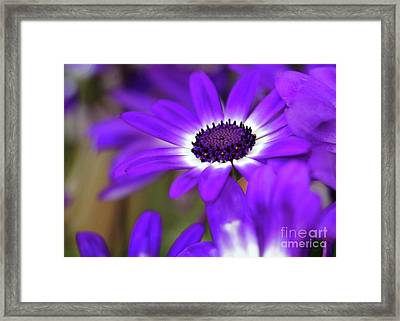 The Purple Daisy Framed Print by Sabrina L Ryan