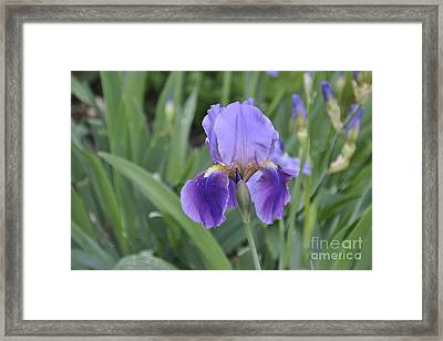 Framed Print featuring the photograph The Purple Iris by Cheryl McClure