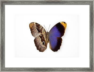 The Purple Owl Butterfly, Caligo Framed Print by Darrell Gulin