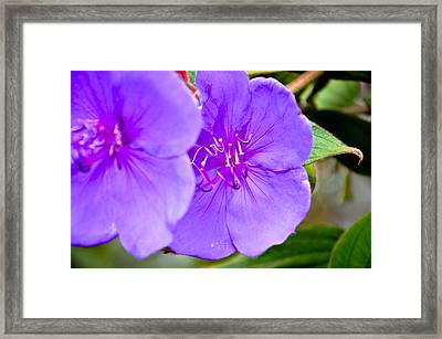 The Purple Passion Framed Print by K Marshall