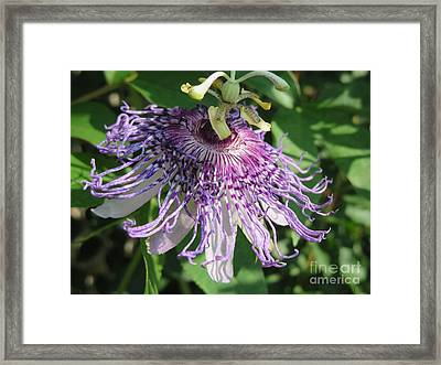 Ornament Of Purple Passion Framed Print