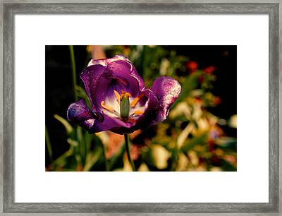 The Purple Rose Of Cairo Framed Print by Chris Modlin