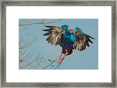 The Purple Swamphen Framed Print by Manjot Singh Sachdeva