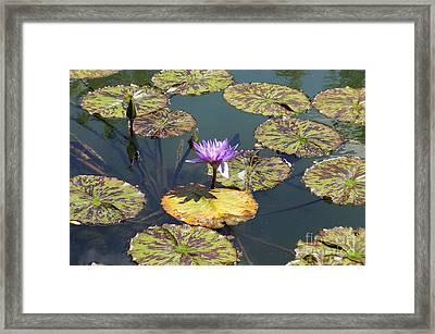 The Purple Water Lily With Lily Pads - Two Framed Print