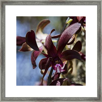 The Quiet - Dendrobium Black Spider Orchid Framed Print
