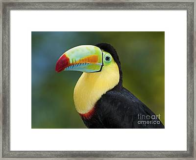 The Rainbow Bird.. Framed Print by Nina Stavlund