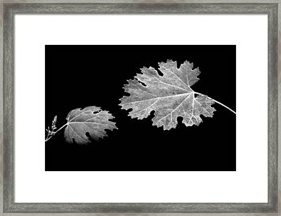 The Reach - Grape Leaf Anemone - Leaves - Black Background Framed Print by Nikolyn McDonald