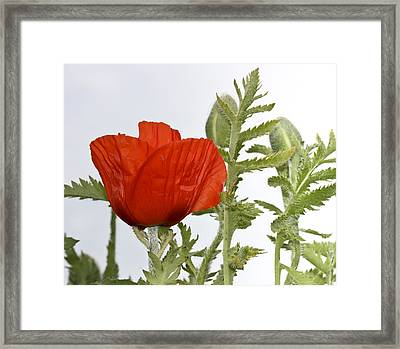 Framed Print featuring the photograph The Real Red by Nick Mares