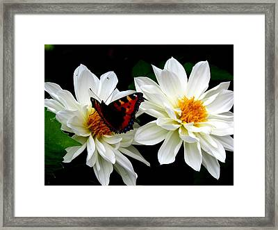 The Red Admiral Framed Print