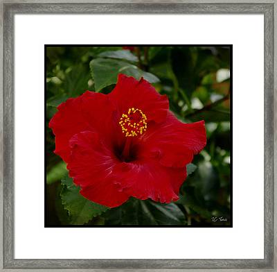 Framed Print featuring the photograph  Red Hibiscus by James C Thomas