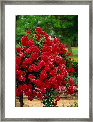 The Red Tree Framed Print by Robert Bray