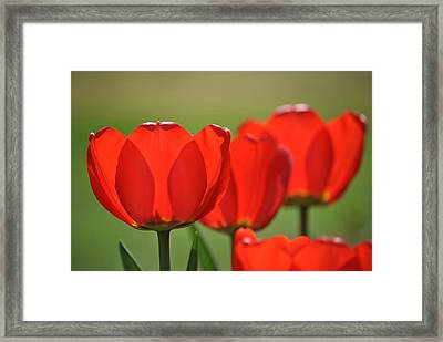 The Red Tulips Framed Print