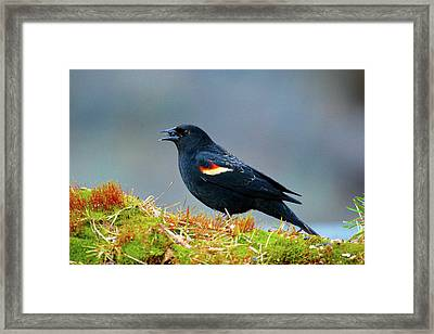 The Red-winged Blackbird (agelaius Framed Print by Richard Wright