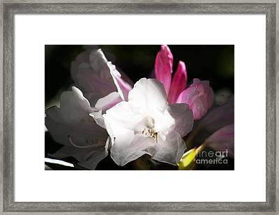 The Rhododendron Forest C Framed Print by Jennifer Apffel