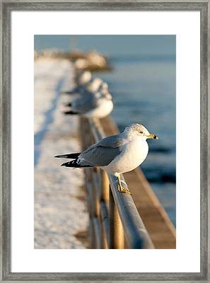 The Ring-billed Gull Framed Print