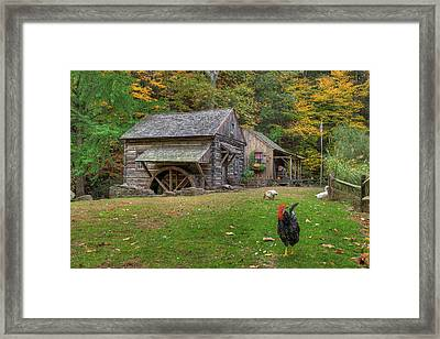The Rooster Rules Framed Print by William Jobes