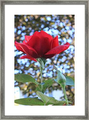 The Rose And Bud Framed Print