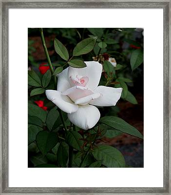 Framed Print featuring the photograph The Rose by James C Thomas