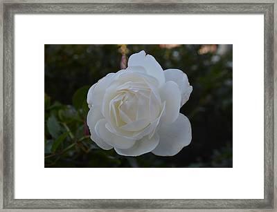 The Rose Framed Print by Regina Avila