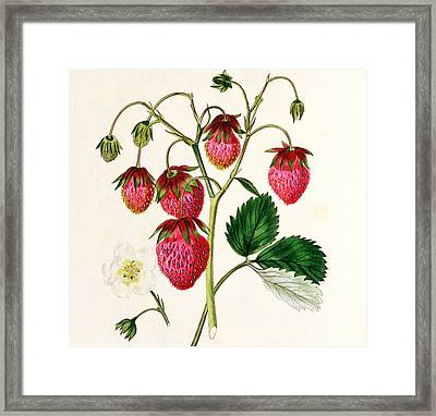 The Roseberry Strawberry Framed Print by Edwin Dalton Smith