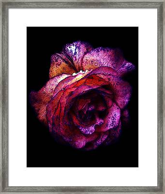 The Royal Rose Framed Print