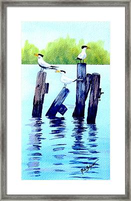 The Royal Terns Framed Print by Ruth Bodycott